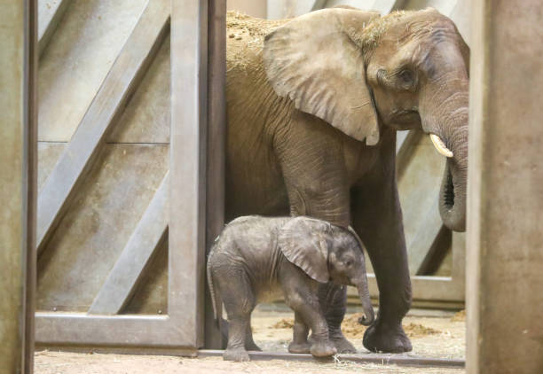 DEU: Elephant Baby Elani Christened In Halle