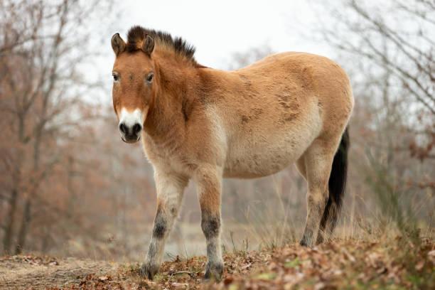 DEU: Przewalski Horses Near Berlin