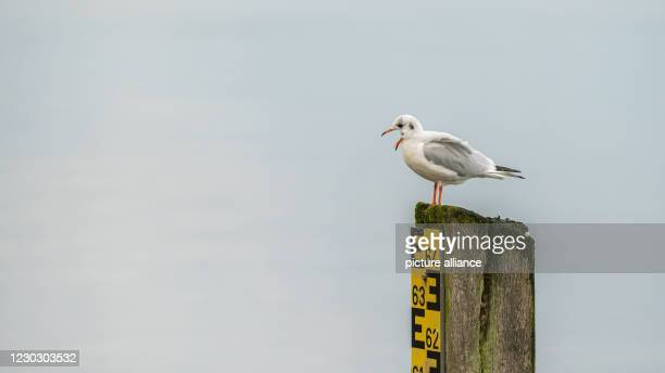 December 2020, Lower Saxony, Bad Zwischenahn: A seagull with open beak stands on a water level indicator at the Zwischenahner Meer. Photo: Mohssen...