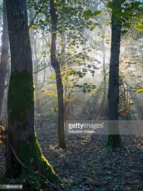 Deciduous woodland part of an ancient woodland on a misty autumn dawn near Fakenham Norfolk