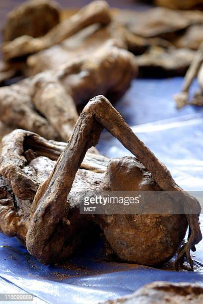 Decomposing bodies that were recently exhumed from a mass grave rest in the Nyamata church which was the site of a huge massacre during the Rwanda...