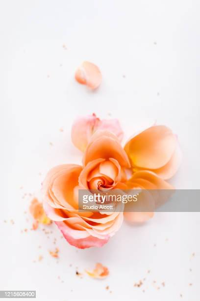 deconstructed rose - peach colour stock pictures, royalty-free photos & images