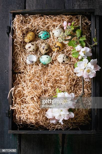 Decor colorful Easter quail eggs standing in row with spring cherry flowers on straw in black box over dark wooden background Dark rustic style Top...