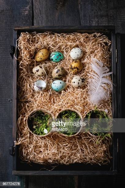 Decor colorful Easter quail eggs with spring cherry flowers moss and bird feather on straw in black box over dark wooden background Dark rustic style...