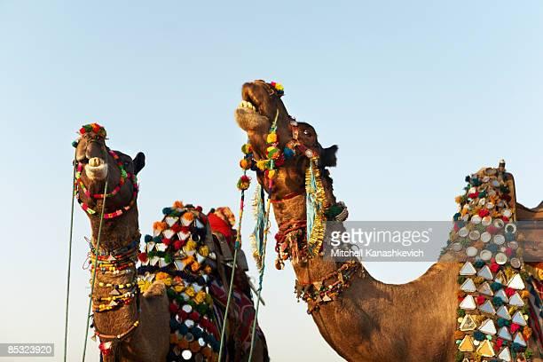 Decorated Camels at the Kolayat Fair