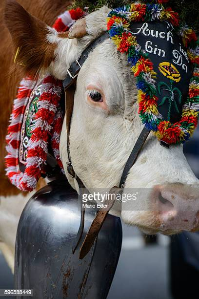 Decorated cattle