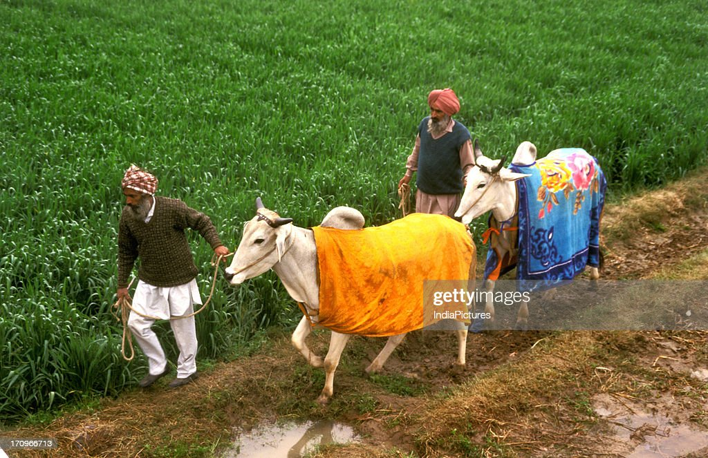 Decorated cattle Punjab India