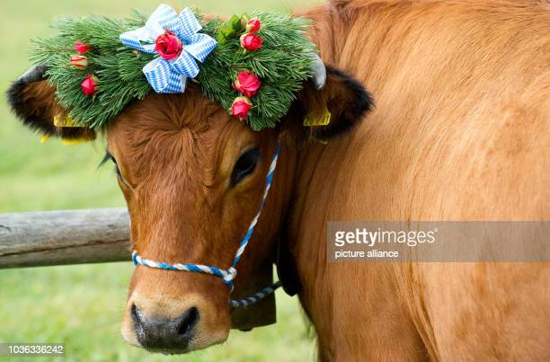 Decorated cow during the traditional driving down of cattle from the mountain pastures inKruen, Germany, 19 September 2015....