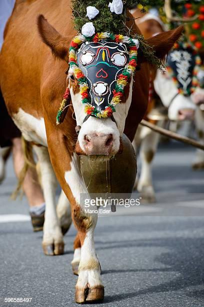 decorated cow - almabtrieb stock-fotos und bilder