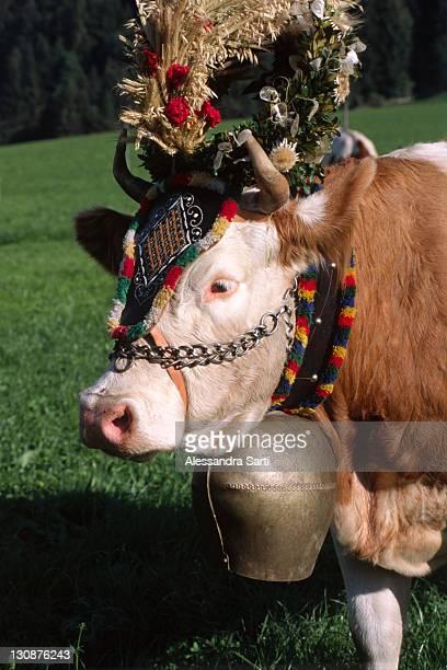 decorated cow, transhumance, north tyrol, austria, europe - almabtrieb stock-fotos und bilder