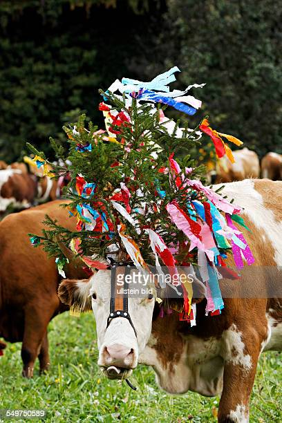 Decorated cows ceremonial drive down of cattle from the mountain pastures Sachrang Upper Bavaria Germany