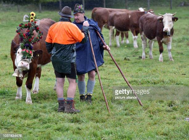Decorated cows stand on a meadow for the traditional 'Almabtrieb' mountain event in Kruen, Germany, 17 September 2016. Photo:ANGELIKAWARMUTH/dpa |...