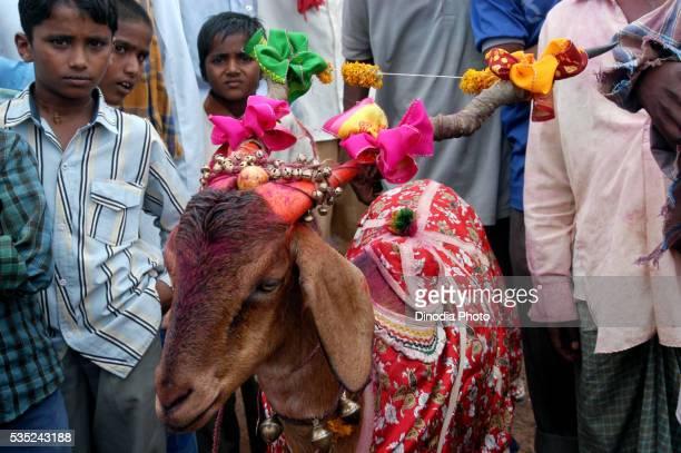 A decorated sacrificial goat during Rathayatra festival in Bassapur, Belgaum District, Karnataka, India.