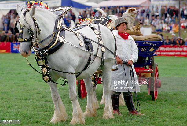 decorated shire horse - shire horse stock pictures, royalty-free photos & images