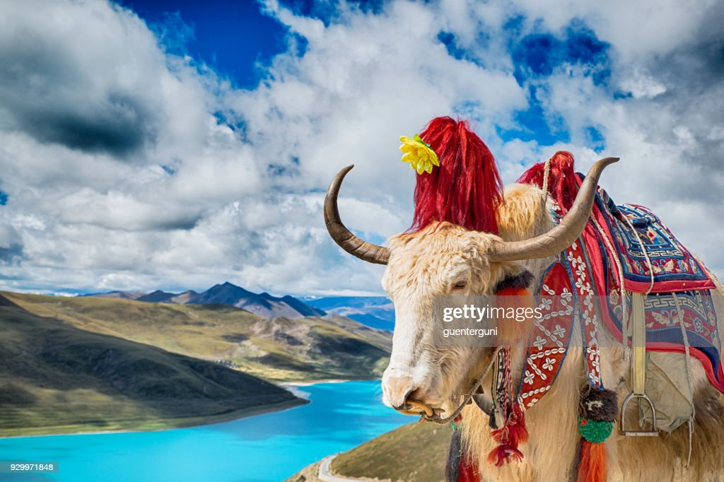 Decorated Yak above Yamdrok Lake, Tibet : Stock Photo