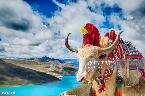 Decorated Yak above Yamdrok Lake, Tibet
