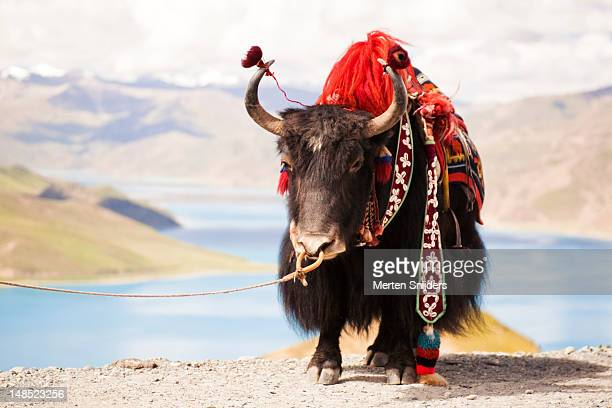 decorated yak at gamta pass. - merten snijders stock pictures, royalty-free photos & images