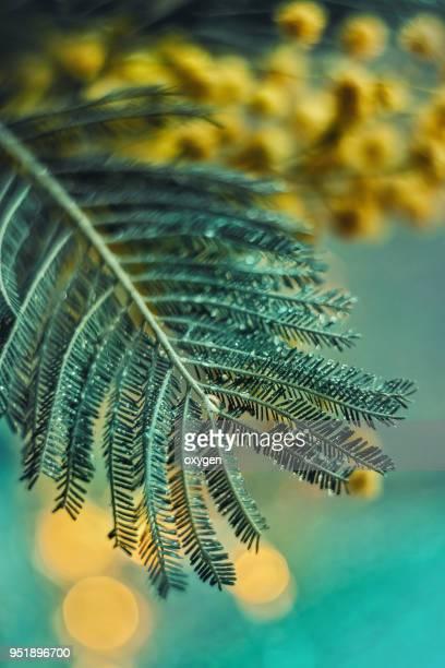 decoration branch of mimosa, on aqua color - mimosa fiore foto e immagini stock