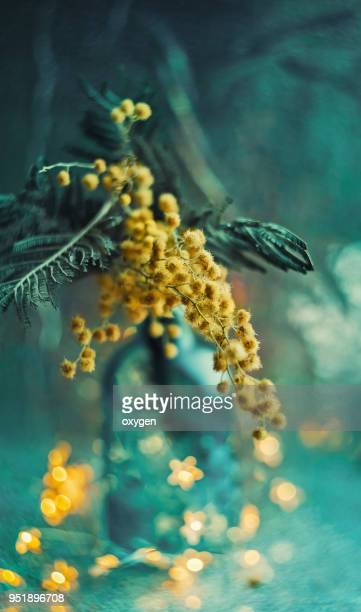 decoration with bunch of mimosa, scissors and green bottle - mimosa fiore foto e immagini stock
