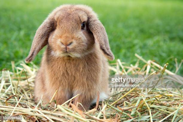 decorative dwarf rabbit in a green meadow - hare stock pictures, royalty-free photos & images