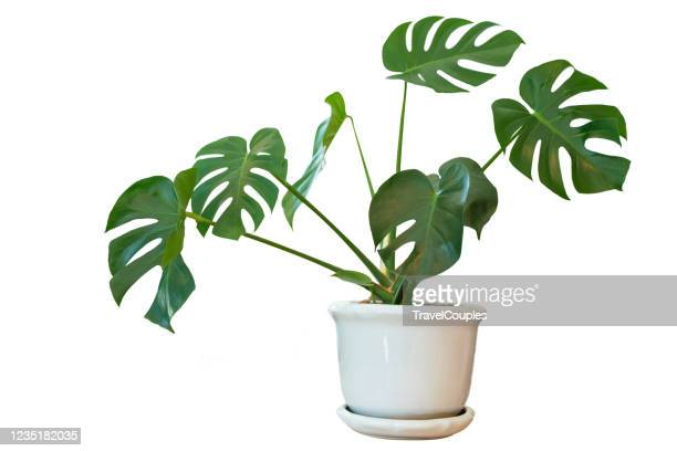 decorative monstera tree planted white ceramic pot isolated on white background. - potted plant stock pictures, royalty-free photos & images