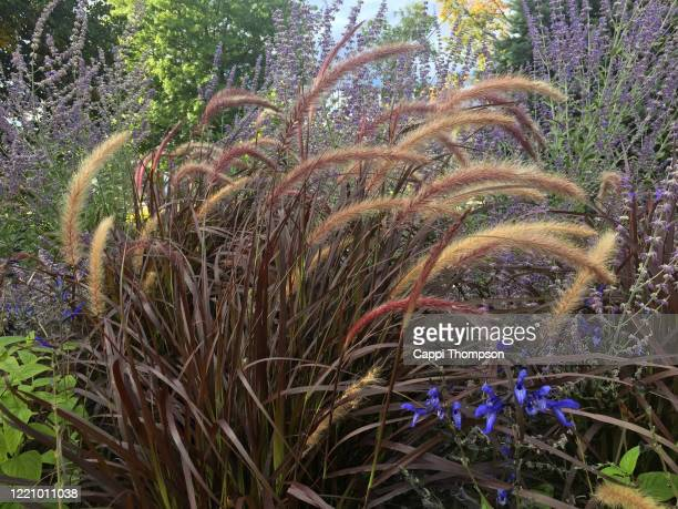 decorative red fountain grass growing outdoors in new hampshire, usa - ivraie photos et images de collection