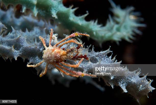 Decorator arrow crab on a sponge