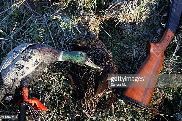 A decoy duck and a dead duck lay next to a gun during a morning duck shooting at Drury on July 2 2006 in Auckland New Zealand The first weekend in...