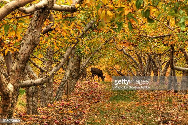 Deeer in apple orchard