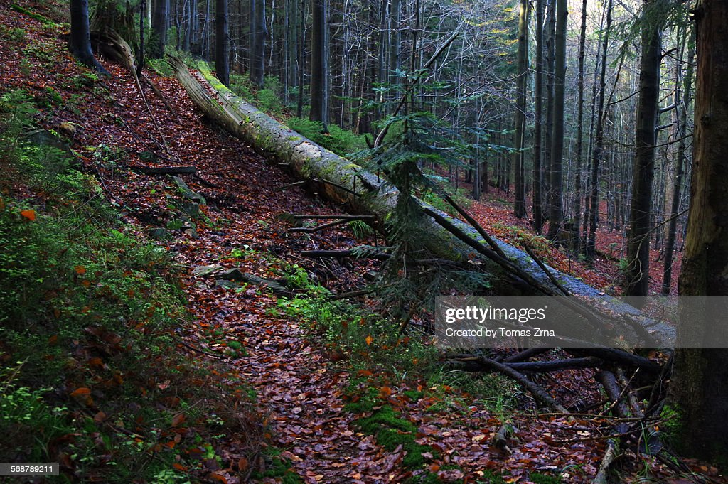 Deep beech woods of Beskydy mountains : Stock Photo