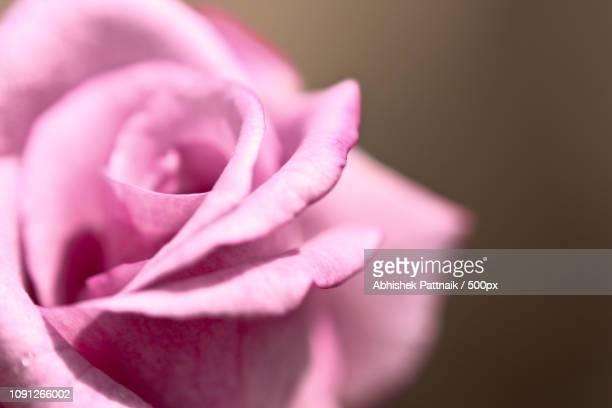 deep down rose