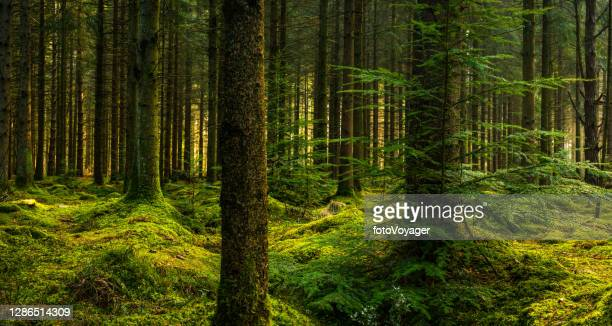 deep in a pine forest wilderness green mossy clearing panorama - forest stock pictures, royalty-free photos & images