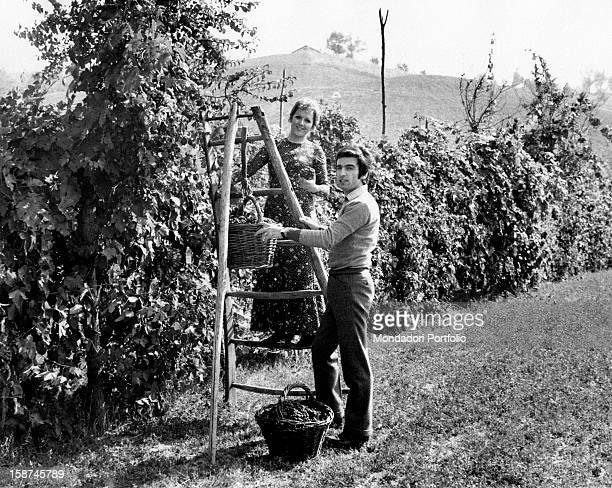 Deep in the Emilian country Italian singer Orietta Berti picks bunches of grapes from a row up on a stair nearby her husband Osvaldo Paterlini keeps...