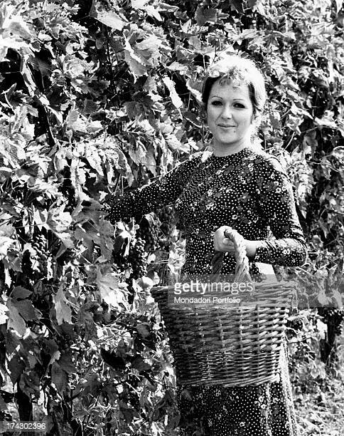 Deep in the Emilian country Italian singer Orietta Berti picks bunches of grapes from a row and then put them away in a wicker basket Montecchio...