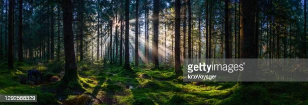 djupt i de vilda skogarna solstrålar lysande grön skog panorama - trädkrona bildbanksfoton och bilder