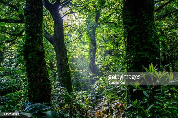 deep inside the forest - jeju stock photos and pictures