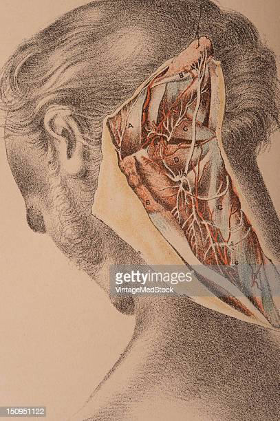 Deep muscles of the neck blood vessels and nerves at the back of the neck 1882 From 'Illustrations of Dissections in a Series of Original Colored...