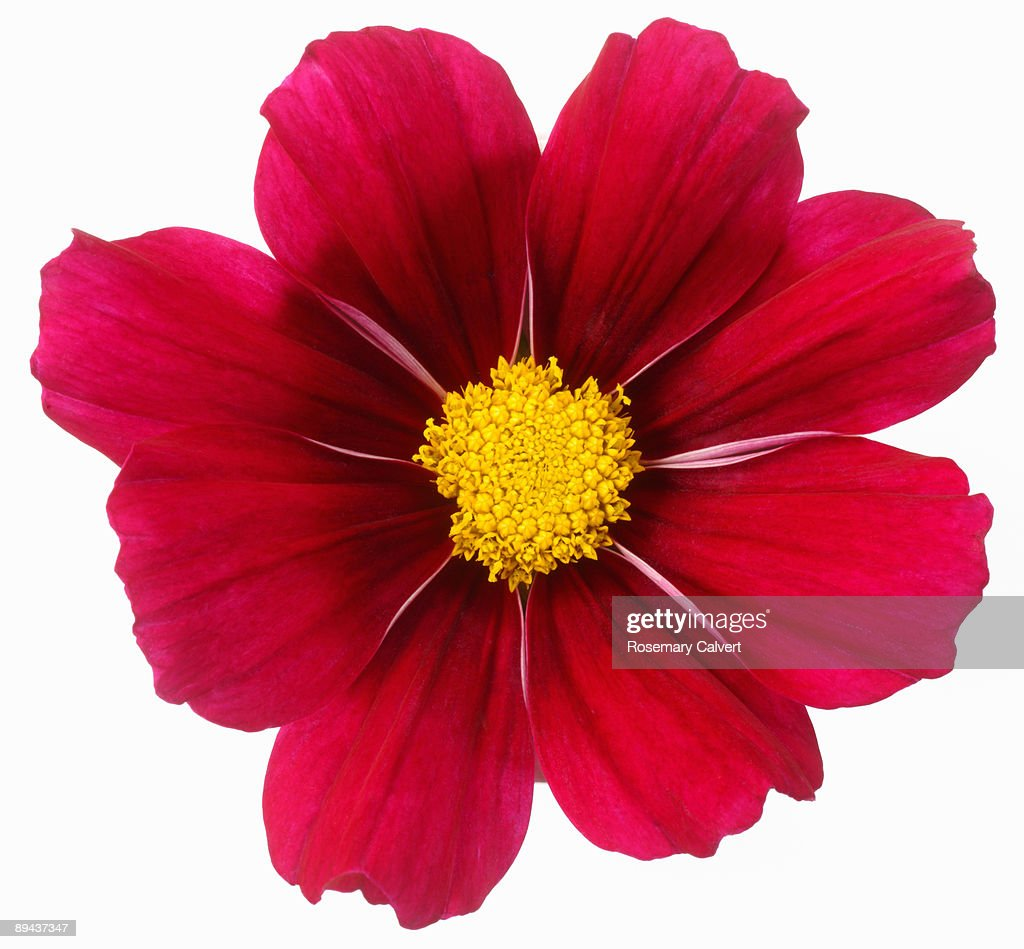 Deep pink cosmos flower in close up. : Stock Photo