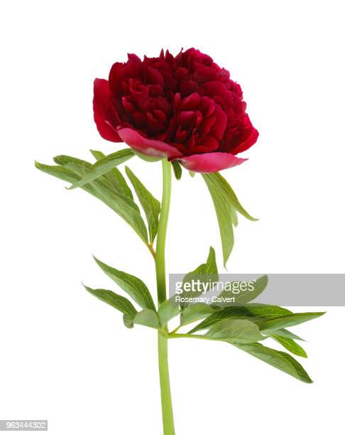 deep pink peony flower & leaf on white. - pivoine photos et images de collection