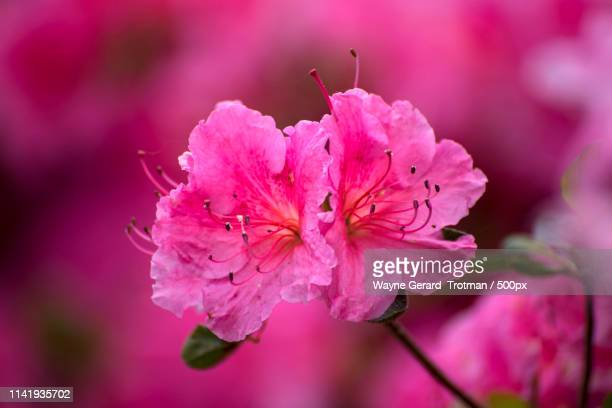 deep pink - wayne gerard trotman stock pictures, royalty-free photos & images