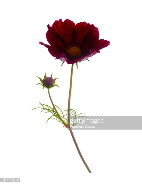 Deep red cosmos flower and bud on white.