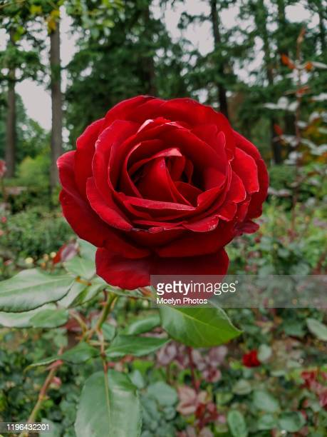 deep red rose close up - red roses garden stock pictures, royalty-free photos & images