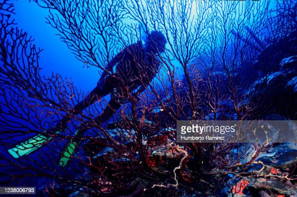 deep water sea fan. - paisajes de venezuela fotografías e imágenes de stock