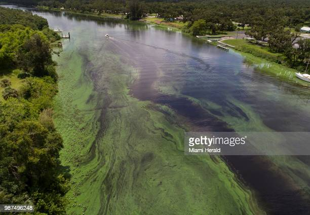 A deepening algae bloom across the Caloosahatchee River on June 27 in Labelle Fla