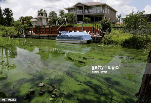 A deepening algae bloom seen at a canal behind houses on the south side of Calooshatchee River in the River Oaks residential area on June 27 2018