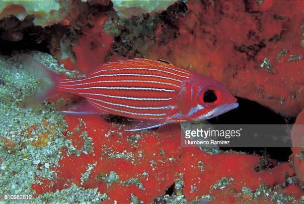 deepwater squirrelfish. - squirrel fish photos et images de collection