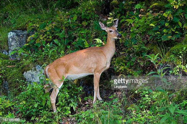 deer along the skyline drive, shenandoah national park - skyline drive virginia stock photos and pictures