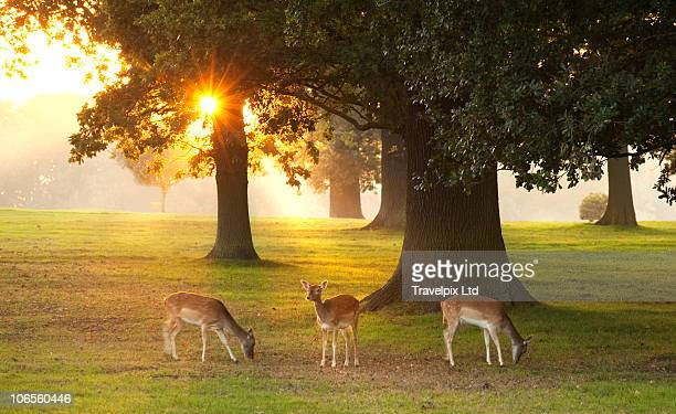 deer amongst oak trees - lincolnshire stock pictures, royalty-free photos & images