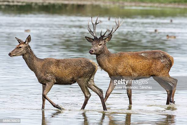 A deer and a doe crossing a lagoon