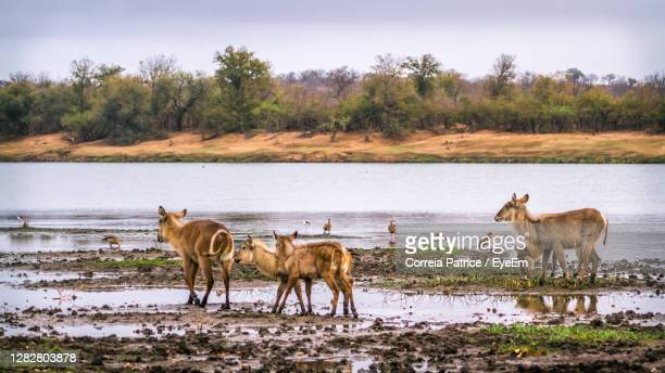 deer and birds at riverbank - limpopo province stock pictures, royalty-free photos & images